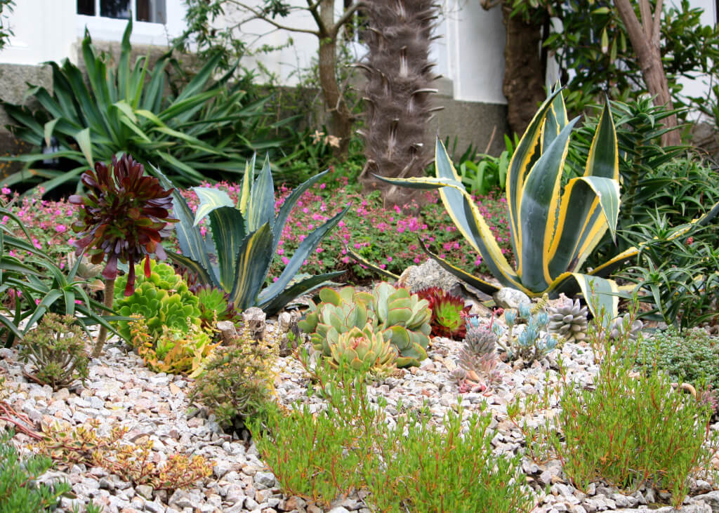 A granite retaining wall provides a sun-kissed environment for succulents, including the mighty Agave americana, opuntias, aloes and aeoniums.